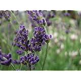 Lavandula angustifolia Hidcote or Lavender Shrub 3L
