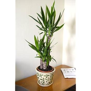 plante interieur yucca