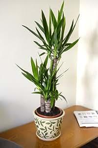 zimmerpflanze f r wohnraum oder b ro yucca elephantipes riesen palmlilie 80 cm hoch amazon. Black Bedroom Furniture Sets. Home Design Ideas