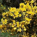 Ginestre Ulex Europaeus - 30+ Seeds