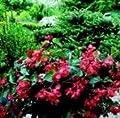 Begonie Dragons Wing, Rot, 10Samen von Nuts n' Cones auf Du und dein Garten