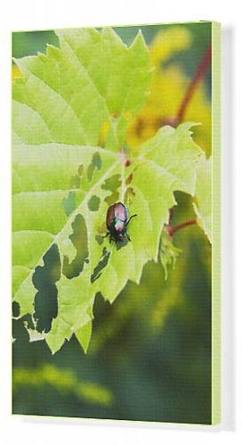canvas-print-of-japanese-beetle-popillia-japonica-skeletonizing-wild-fox-grape-leaves