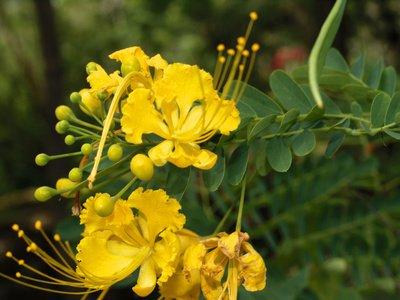 Gelber Flammenbaum Peltophorum pterocarpum Bonsai geeignet 5 Samen
