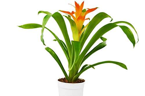 """Sconosciuto Semi: Guzmania Liad 'Orange' - - 1FT Alto - Assistenza Gratuita Guide - 4"""" Pot"""