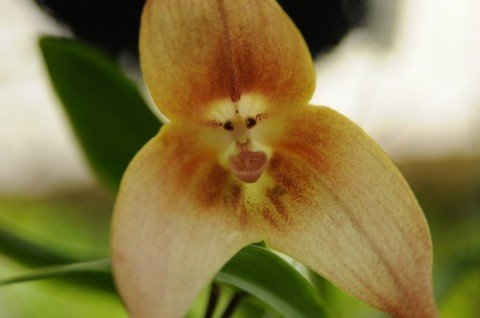 Orchid Monkey Face Large Face - Orquídea cara de mono cara grande - 20 semillas