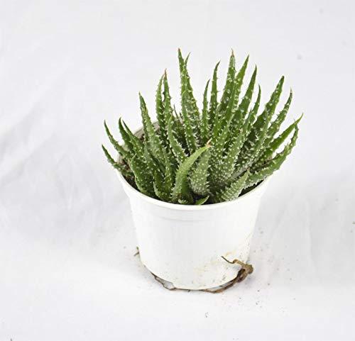 Pianta Grassa Aloe Humilis, Vaso 10cm, Altezza 5/10cm
