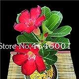 Planta Obesum hotSelling Bonsai Adenium Balcón Flores Plantas 2 Pcs Arco Iris del Desierto Rose Bonsai para jardín fácil de Cultivar: 4