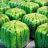 Shopmeeko 2016 heißer Verkauf Wassermelone bonsai 50 stücke Obst Gemüse bonsai Garten Home Plant Blau Gelb Grün Wassermelone Kostenloser Versand: Lila