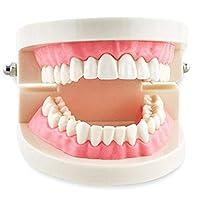 Aprodite Tooth Teach Study Demonstration Model Anatomy Typodont Orthodontic Teeth Normal Standart Flesh Pink Colour