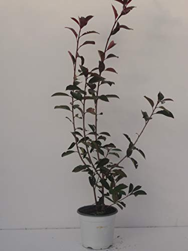 pianta vera da siepe di Photinia Red Robin vaso 17cm