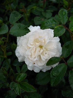 bodendeckende Rose Sea Foam weiß im 1,5 Liter Pflanzcontainer von Plantenwelt Wiesmoor auf Du und dein Garten