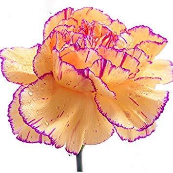 La vente de Hot 16 couleurs disponibles Carnation Graines Fleurs vivaces Plantes en pot Jardin Dianthus caryophyllus Fleur Graine 200 Pcs 2