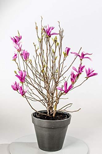 Magnolie Purpurne Blüte