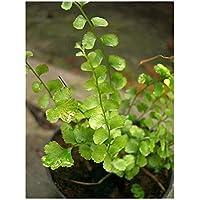 Lindsaea orbiculata - helecho - 100 semillas