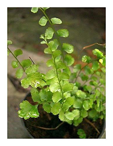 Lindsaea orbiculata - Farn - 100 Samen