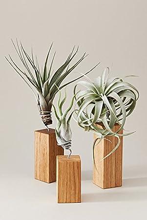 evrgreen luftpflanzen set tischdeko rustikal auf eichen holz wohnzimmer deko - Holz Dekoration Wohnzimmer