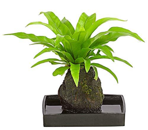 Dehner Farn-Mix, auf Lavastein gepflanzt, ca. 30-40 cm, Schale 17 cm, Zimmerpflanze