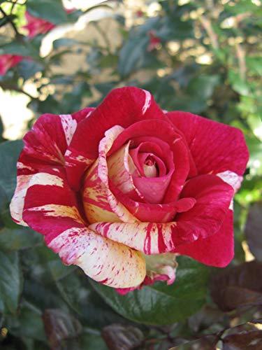 Duftende Malerrose Edelrose Broceliande in Pink & Orange-Gelb - Duftrose winterhart - Rose stark duftend - Zweifarbige Pflanze im 5 Liter Container von Garten Schlüter - Pflanzen in Top Qualität