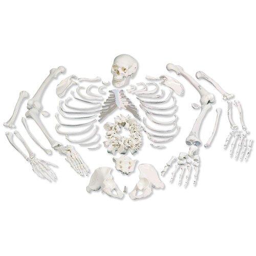 3b-scientific-a05-1-esqueleto-completo-desarticulado-con-crneo-de-3-piezas
