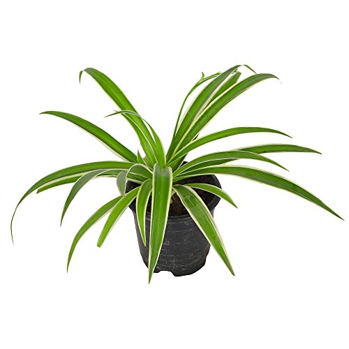 Zaavic Indoor Oxygen & Air Purifier Spider Plant With Black...