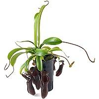 """Nepenthes X """"Bill Bailey"""" - sehr schöne Kannenpflanze mit nahezu schwarzen Kannen - faszinierende fleischfressende Pflanze, welche als Einsteiger Karnivore geeignet ist"""