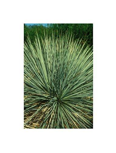 5x Yucca glauca Samen immergrün dolchartige Blätter B496