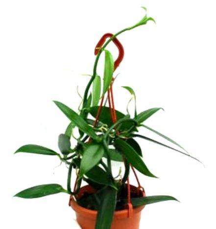 Mühlan Orchideen MUEP-A-1929