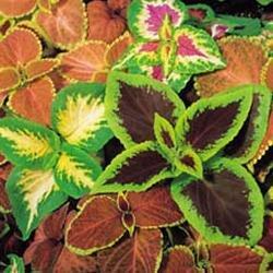 Galleria fotografica Fiore - Kings Seeds - Confezione Multicolore - Coleus - Top Crown