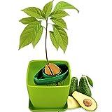 AvoSeedo Kit Jardineriapara Aguacate - Gadget Decoracion Casa Y Decoracion Habitacion/Uso Interior...
