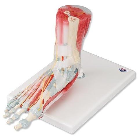 Modèle de squelette du pied - M34/1