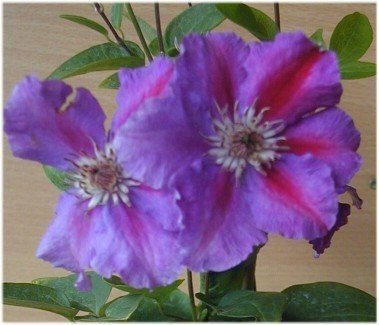 clematis-clematis-myojo-80-cm-high-in-the-3-liter-plant-container