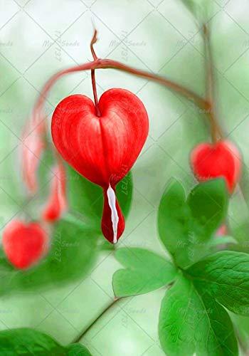 Shopmeeko 100 stücke Bonsai Dicentra Spectabilis anlage Bluten Herz blume pflanze Seltene Topfpflanzen Für Hausgarten Dekoration: 5 (Herz Blutendes)