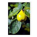 CafePress Quince Fruit Postkarten, 15,2 x 10,2 cm, glänzend, 8 Stück
