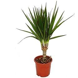Drachenbaum - Dracaena marginata - 1 Pflanze - pflegeleichte Zimmerpflanze - Palme