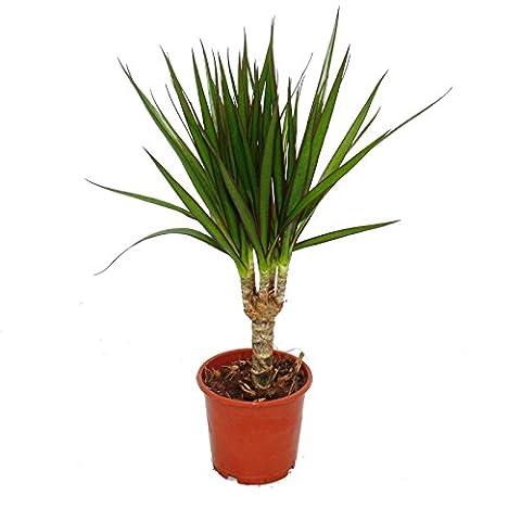Dragon's tree - Dracaena marginata - 1 plant - easy-care indoor plant - palm