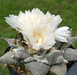 Pezzi -> 10x Ariocarpus Retusus V Elongatus Seme Pianta Giardino Piante Camera B699 -> Seeds Plants Shop Samenbank Pfullingen Patrik Ipsa
