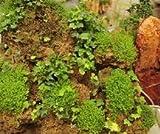 Heiße Selling Chrysalidocarpus Lutescens Samen Conifer Bonsai sät DIY Hausgarten 5pcs / bag Anlagen für Hausgarten