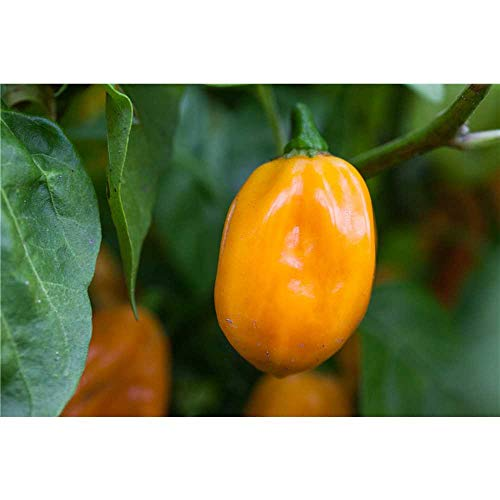 Habanero Chili, orange, Capsicum chinense 'Habanero', Chili-Pflanze im Topf 11 cm