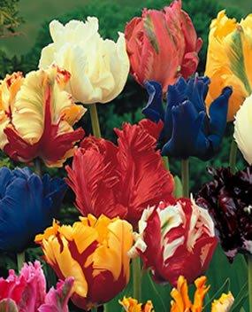 Prächtige Tulpen Mischung 100 Blumenzwiebeln Gr.11/12 von Mosselman bei Du und dein Garten