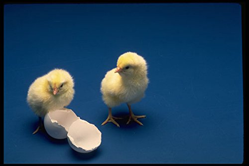 677016 Baby Chicks On Blue Background A4 Photo Poster Print 10x8