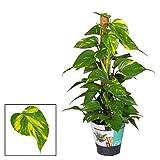 Efeutute am Moosstab 60 cm Epipremnum Aureum Zimmerpflanzen rankend Ampelpflanzen
