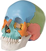 3B Scientific Menschliche Anatomie - Steckschädelmodell - Didaktische Version, 22-tlg.
