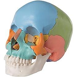 Cráneo A291 - Cráneo Scientific 3B, Kit Didáctico, 22 partes