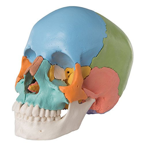 3B Scientific Human Anatomy - Skull Model Kit, Didactic Version, 22 Part