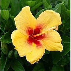 Fash Lady 200 stücke Hibiscus Bonsai 24 Farbe für Wählen HIBISCUS ROSA-SINENSIS Blume Pflanzen für zuhause & amp; Garten: 15