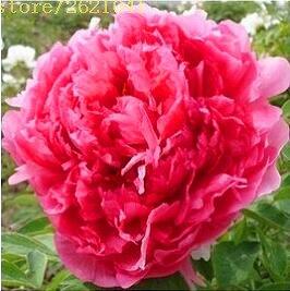 10 pcs / sac graines de pivoines Terrasse Cour Jardin Paeonia Suffruticosa Graines de fleurs vivaces plantes en pot pour le jardin de la maison 9