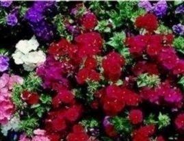 Just Seed Saatgut, Phlox/ Flammenblume, Extra Dwarf Beauty Mixed, 150Samen