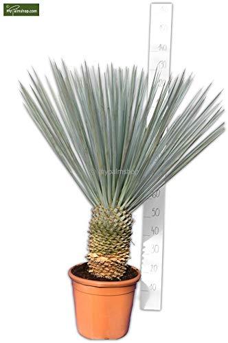 Winterharte Blaukronige Kugelyucca - Yucca rigida - verschiedene Größen (Stamm 20+cm Topf Ø 35cm)