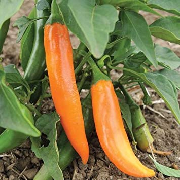 PlenTree 1/4 Gram Organic Seeds Of Bulgarian Carrot Pepper Conventional & Organic