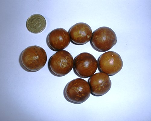 macadamia-nut-macadamia-integrfolia-edible-nut-tree-5-seeds
